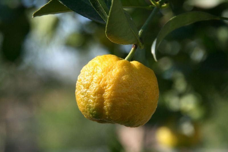 Citrus Purscha pursha
