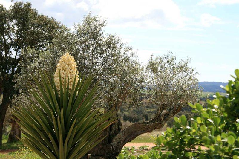 Yucca bayonette espagnole