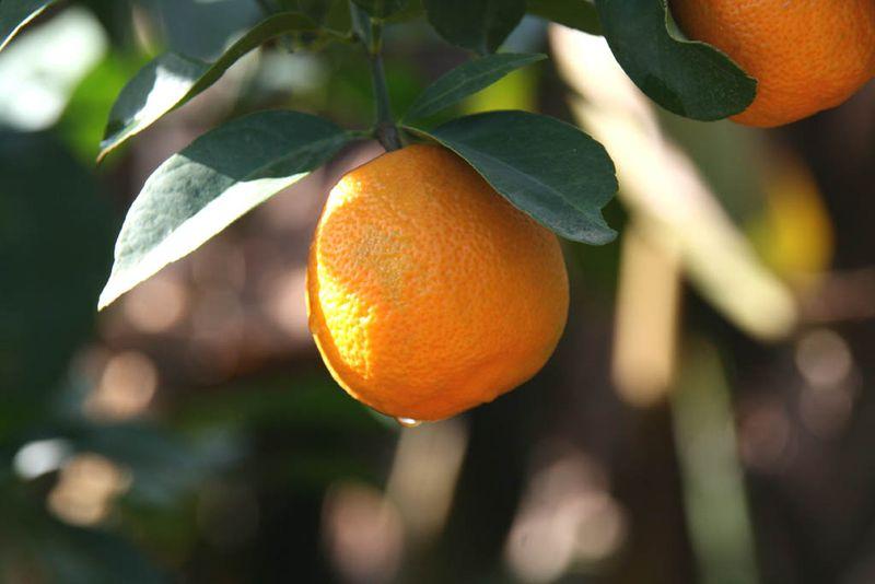 Citrus × jambhiri Rossa Santa Barbara