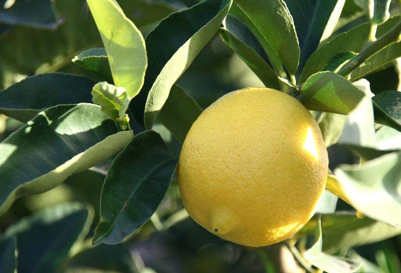 Citrus Limon Vaniglia rotondo dolce del brasile