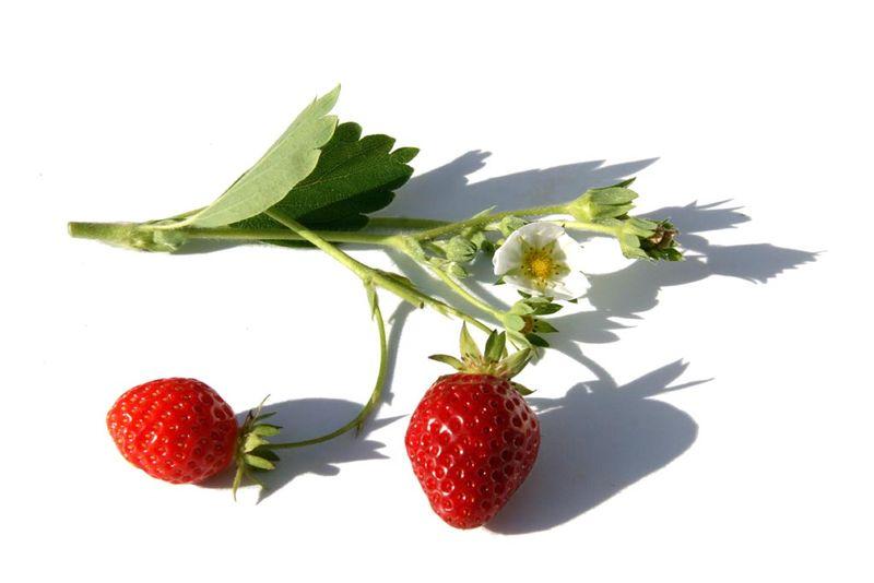 Fraises strawberry فراولة