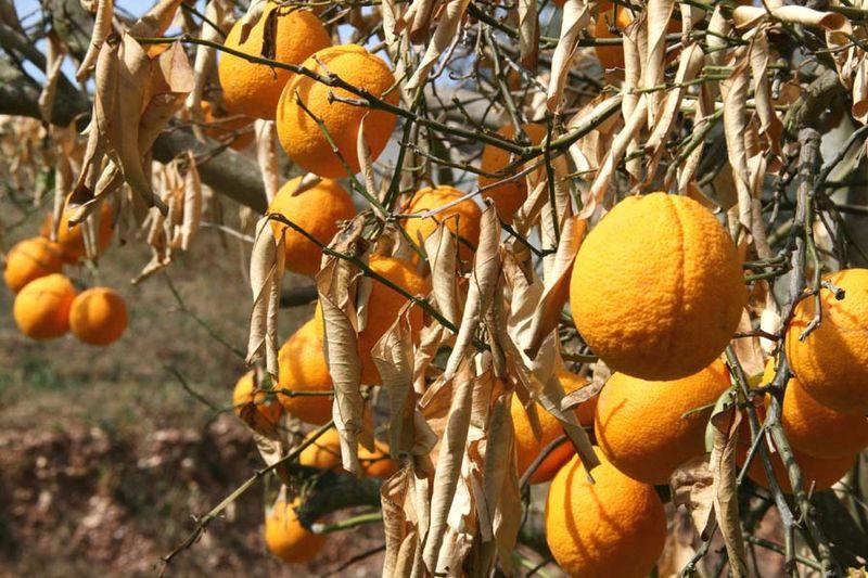 Orange tree  -100 c