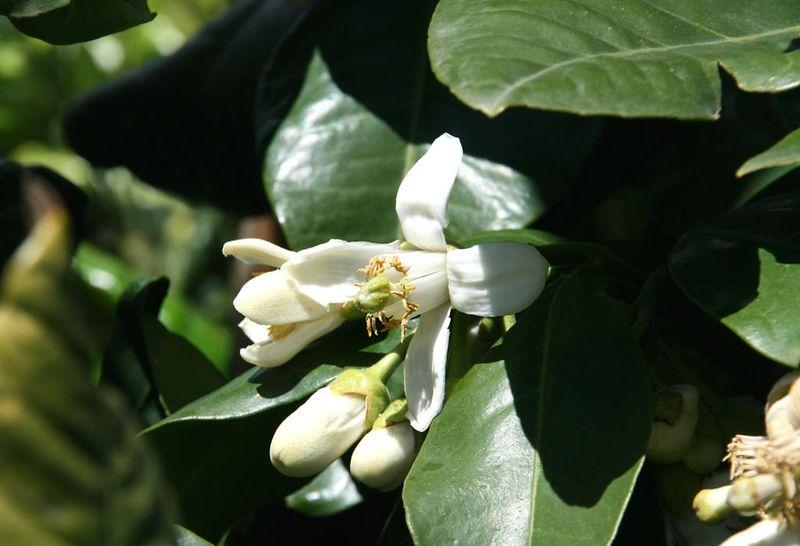 Fleur de pamplemoussier