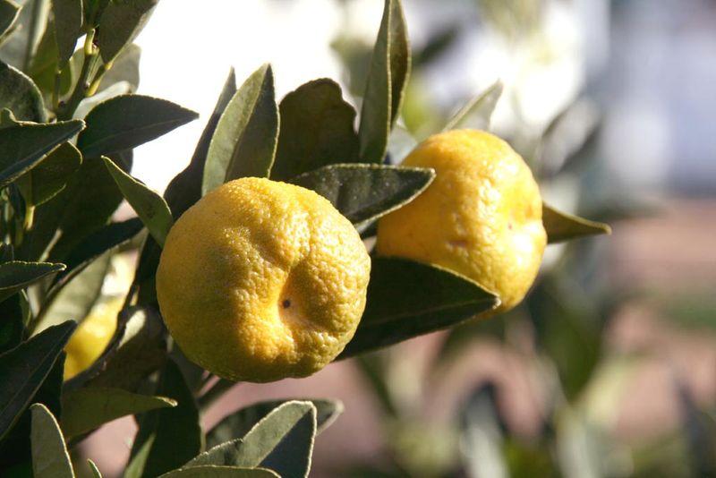 Lime douce pursha