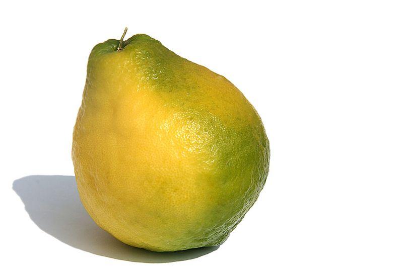 Macropère citrus macroptera