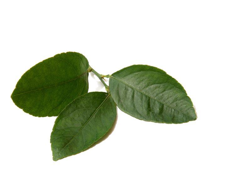 Lima folia