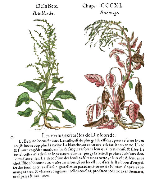 Matthioli commentaire de Dioscoride beta vulgaris