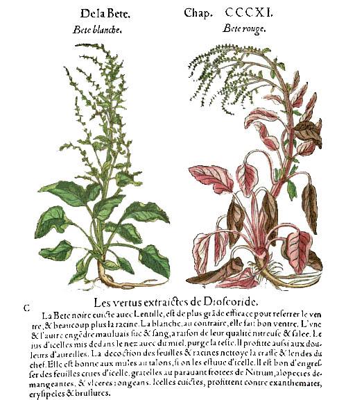 Matthioli commentaire de Dioscoride beta vulgaris