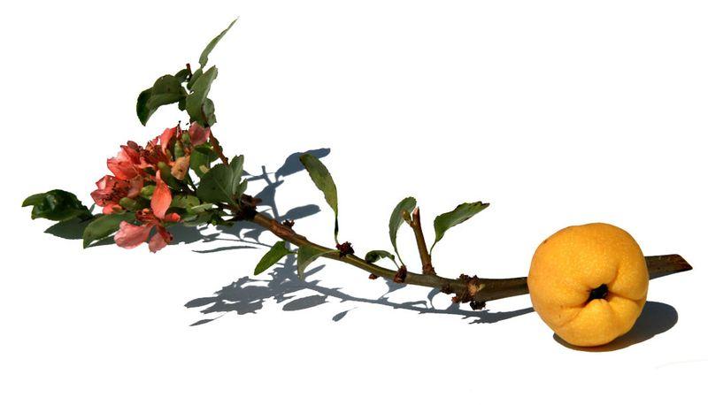 Cognassier du Japon chaenomeles japonica