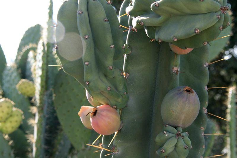 Cierge du Perou fruits