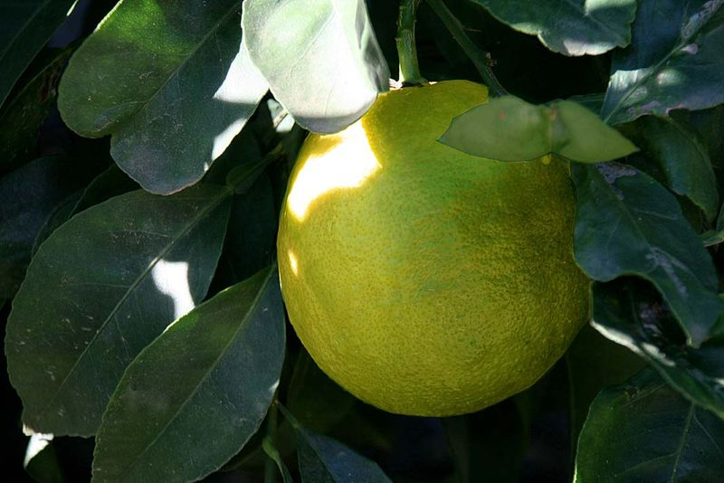 Citrus lumia  pomum Adami