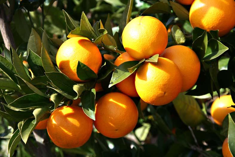 Orange Hamlin