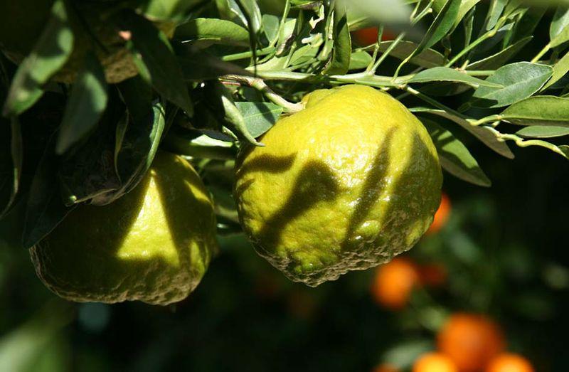 Ponkan citrus réticulata blanco