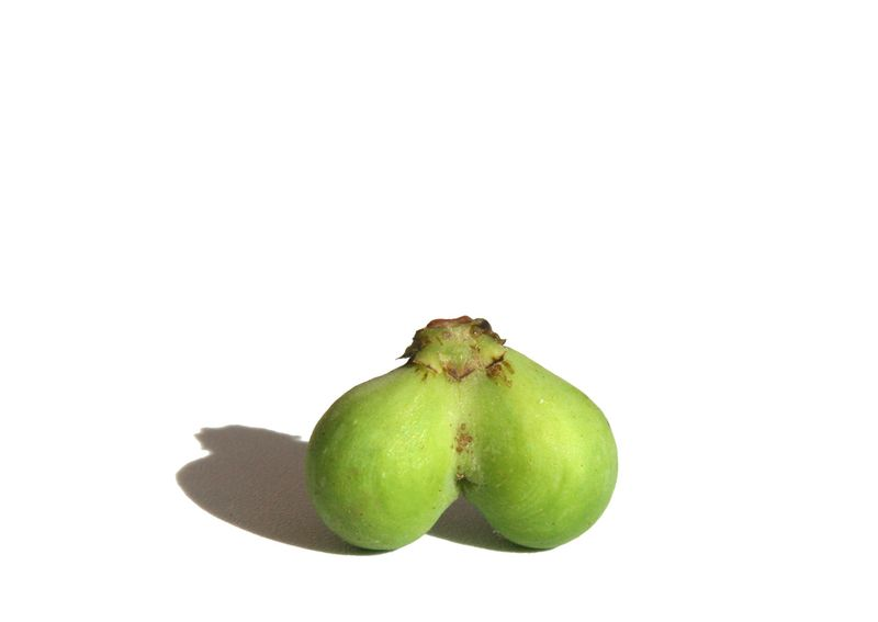 Common fig figue double