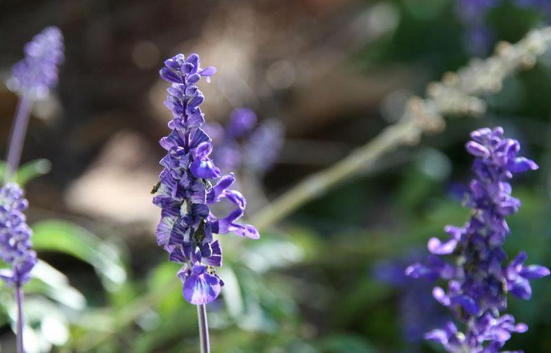 Salvia Farinacea Rhea Bleue