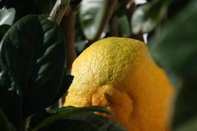 Citron cédrat Robs arsa archa