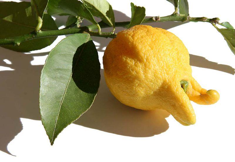 Lemon digité citron main bouddha