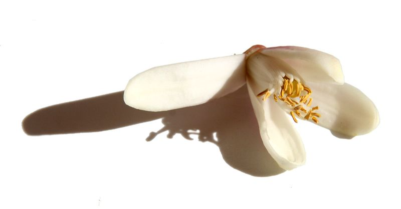 Citron blossom