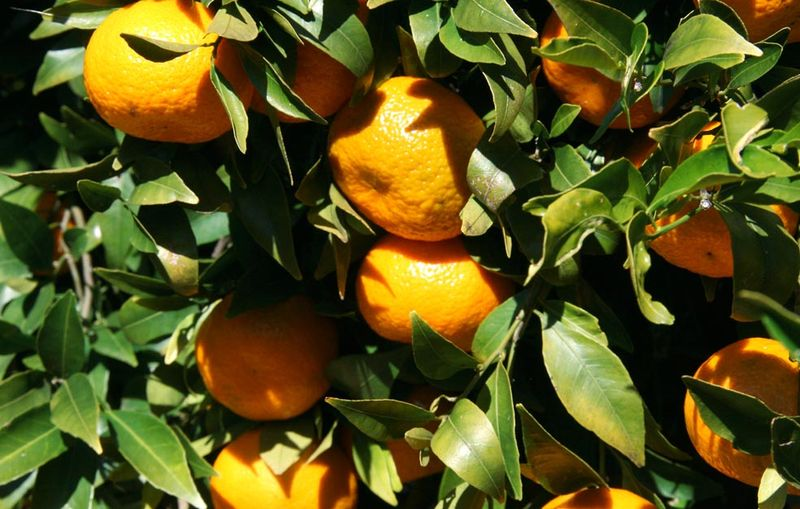 Mandarine tardive de Ciaculli