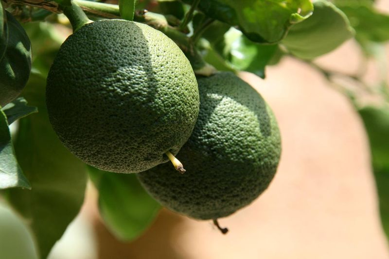Citrus sphaerocarpa