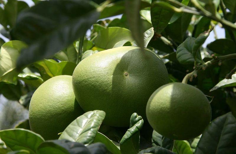 Cimboa citrus axima