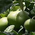 Cimboa citrus maxima