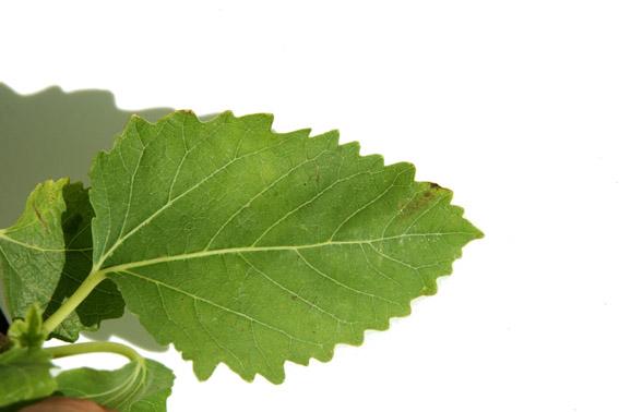 Ficus carica x palmata var nahonis