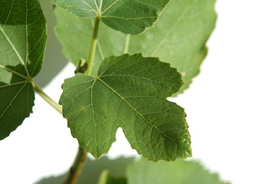 Ficus carica x palmata var nahonis 2