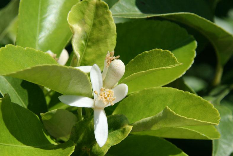 Citrus limon dulcis fleur 2