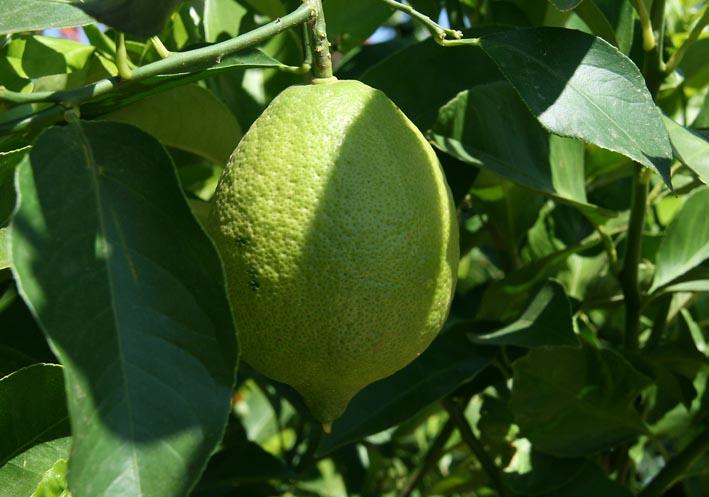 Sweet lemon 2