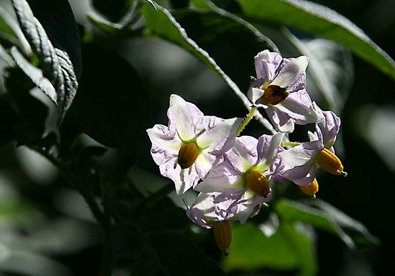 Potetoe blossom