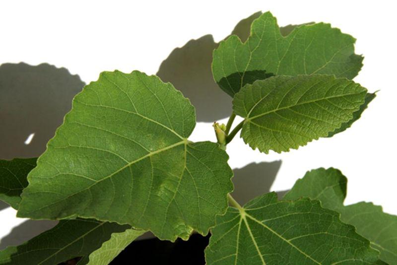 Ficus carica x palmata var brigandis