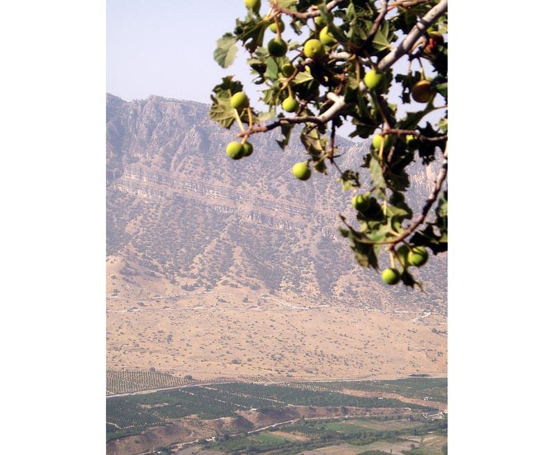 Wild fig Iran