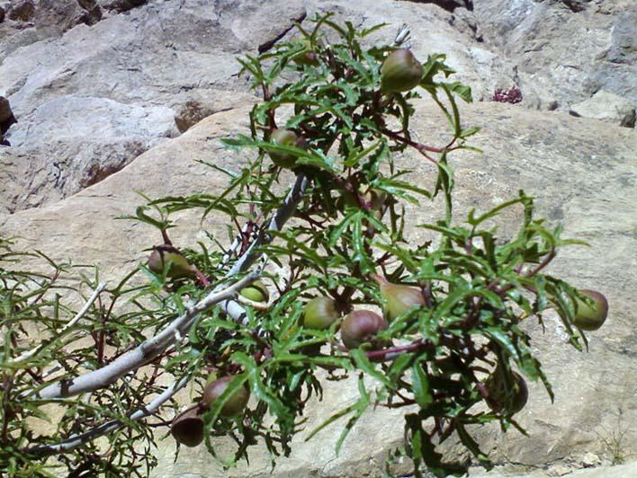 Ficus johannis
