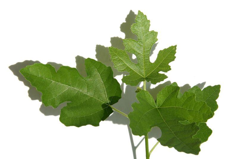 Ficus afqhanistanica