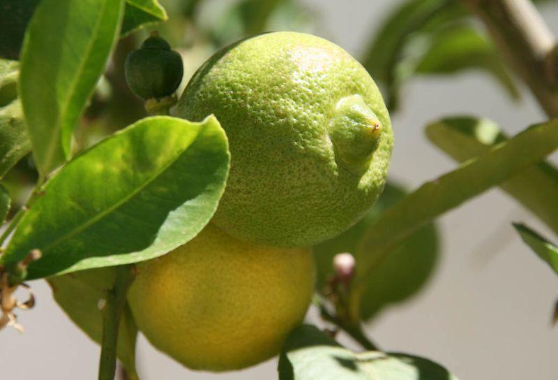 Beldi limonette de Marrakech