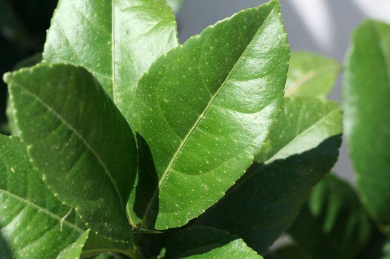 Cedrat - citron - diamante feuille