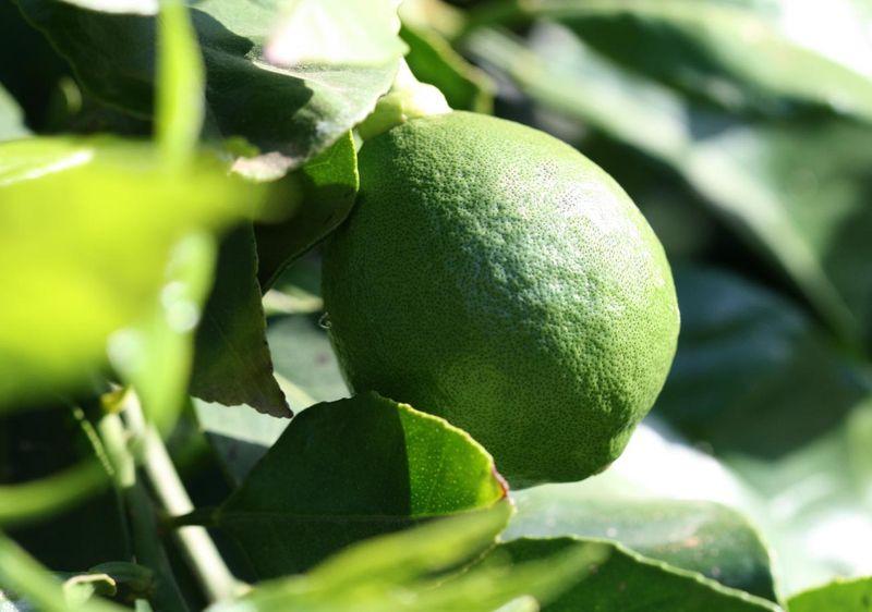 Limua pomo adamo