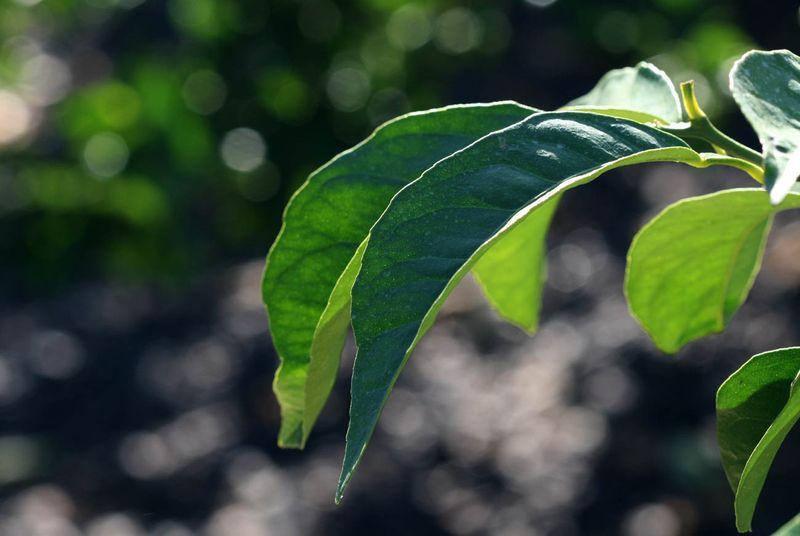 Adam appel leaf