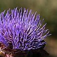 Flor de alcachofa アーティチョークの花