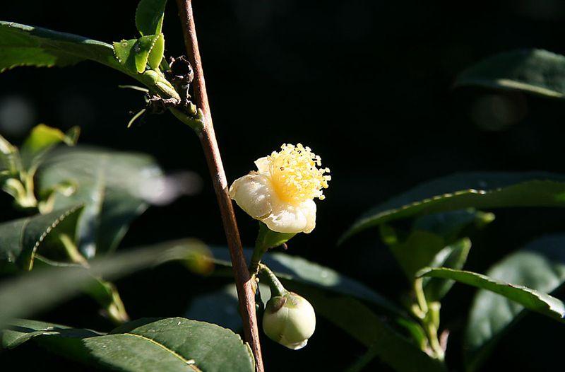 Tea blossom fleur theier