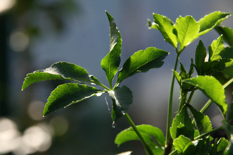 Aralia à 5 feuilles  himeukogi