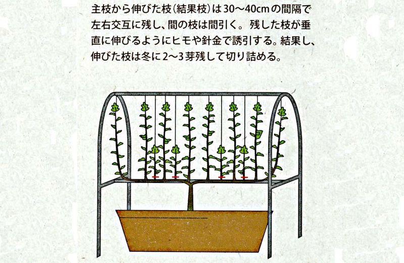 Taille figuier Japon 4