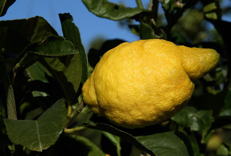 Limone Pane Amalfitano