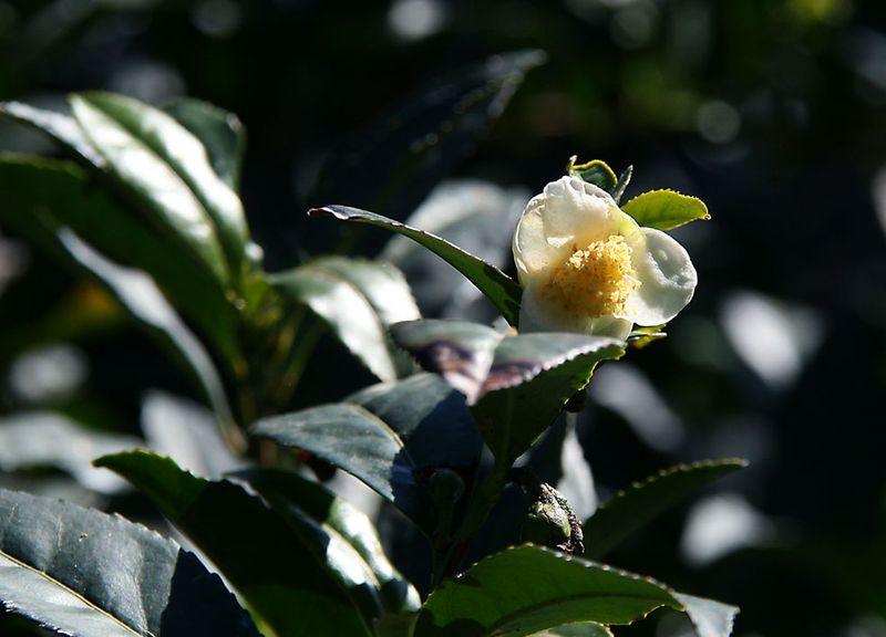 Tea blossom theier fleur