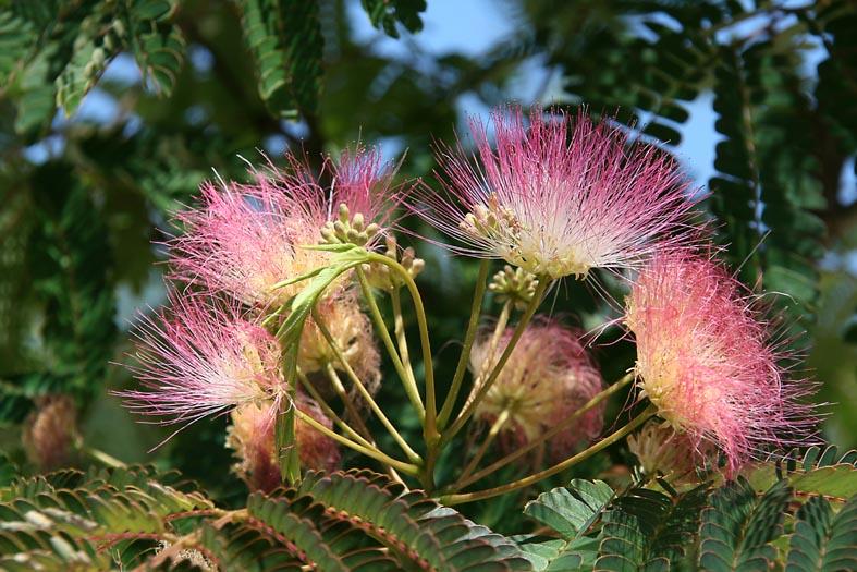 Arbre à soie Mimosa de Constantinople