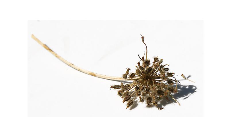 Carot seeds