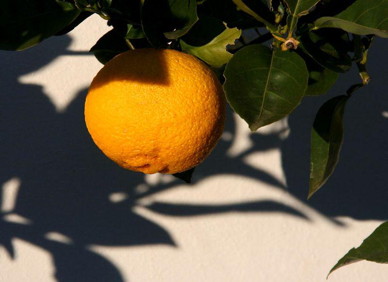 Citrus sphaerocarpa  maturité