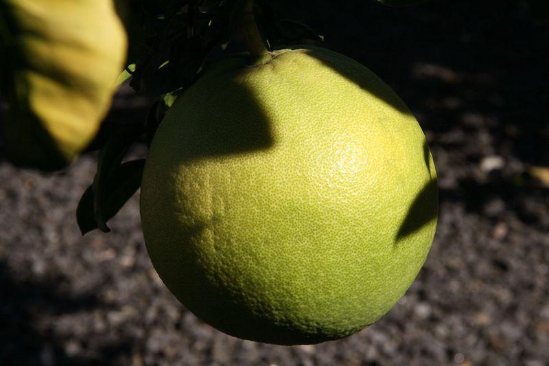 Citrus mawima Hirado
