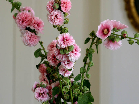 Altia_alcea_rosea_hollyhock_rose_tr